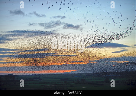 Flock of starlings Sturnus vulgaris flying to winter roost at dusk near Gretna Green Scotland February 2009 - Stock Photo