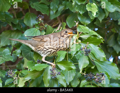 Song thrush Turdus philomelos eating berries of ivy Hedera helix Bedfordshire April - Stock Photo