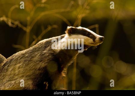 European Badger Meles meles - Stock Photo