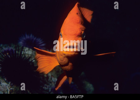 Garibaldi damselfish (Hypsypops rubicundus) swimming off of Santa Catalina Island, California Channel Islands National Park National Park, USA. Stock Photo