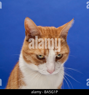 Ginger tom cat against a blue studio background - Stock Photo