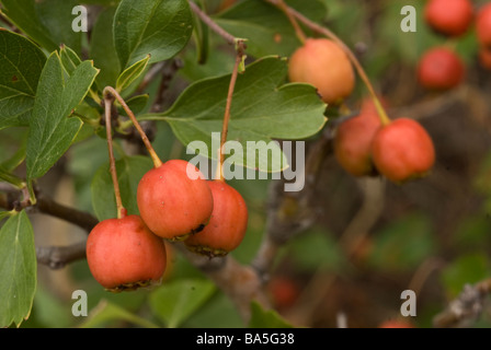 Firethorn Pyracantha coccinea, Rosaceae, Capraia Island, Tuscany, Italy - Stock Photo