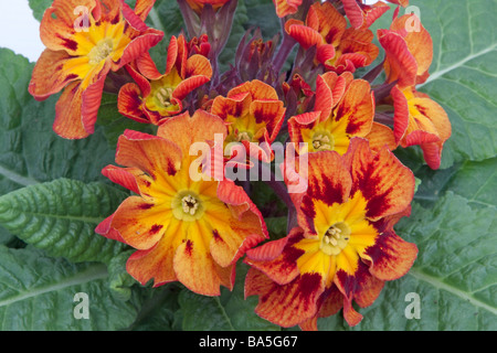 Close up of a Primula Castillian - Stock Photo