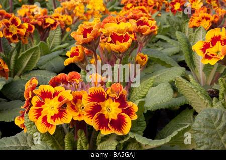 Close up of a Primula Castillian - Stock Photo