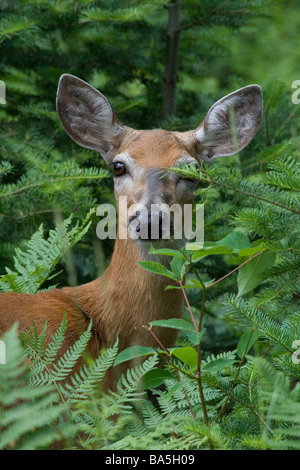 White-tailed peering out of the brush - Stock Photo