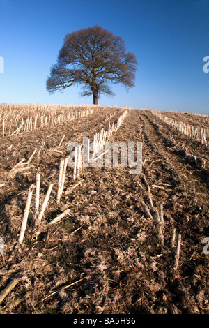 Morning view of lone oak tree in a harvested corn field in spring near to the sandstone trail at Bickerton, Cheshire - Stock Photo