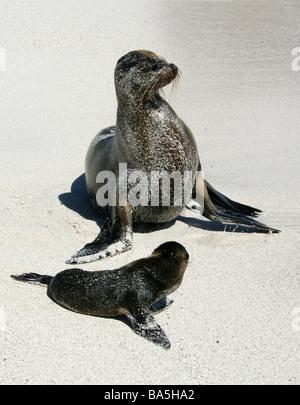 Galapagos Sea Lion and Pup, Zalophus wollebaeki, Espanola Island, Galapagos Archipelago, Ecuador - Stock Photo