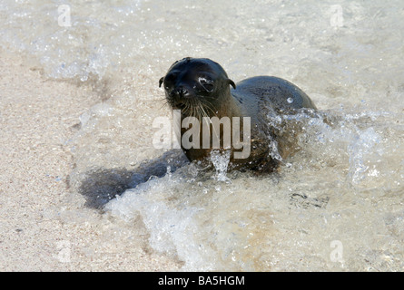 Galapagos Sea Lion Pup, Zalophus wollebaeki, Espanola Island, Galapagos Archipelago, Ecuador - Stock Photo