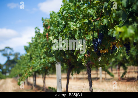 Shiraz grapes on the vine at Wilyabrup - one of the renowned grape growing areas of Margaret River, Western Australia, - Stock Photo