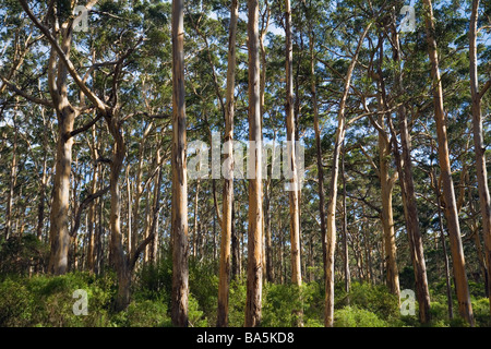 Boranup Karri Forest near Margaret River, in the Leeuwin-Naturaliste National Park, Western Australia, AUSTRALIA - Stock Photo