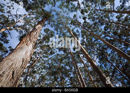 Karri trees tower overhead in the Boranup Karri Forest.  Leeuwin-Naturaliste National Park, Western Australia, AUSTRALIA - Stock Photo