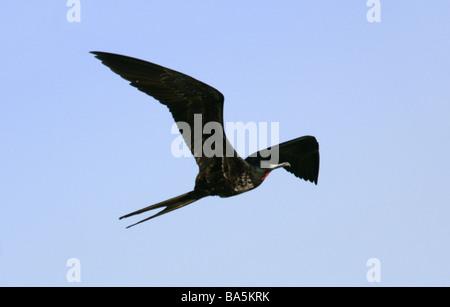 Magnificent Frigatebird, Fregata magnificens, Fregatidae - Stock Photo