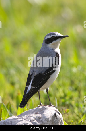 Male Northern Wheatear Oenanthe oenanthe perched on rock - Stock Photo
