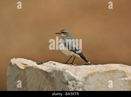Female  Northern Wheatear Oenanthe oenanthe perched on rock - Stock Photo