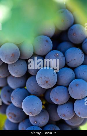 Grapes on the vine in the renowned wine region of Margaret River, Western Australia, AUSTRALIA - Stock Photo