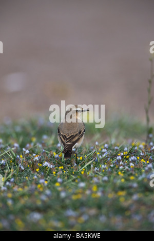 Female  Northern Wheatear Oenanthe oenanthe perched on grass - Stock Photo