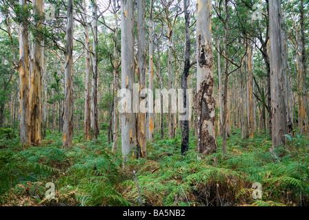 Boranup Karri Forest, near Margaret River, in the Leeuwin-Naturaliste National Park, Western Australia, AUSTRALIA - Stock Photo