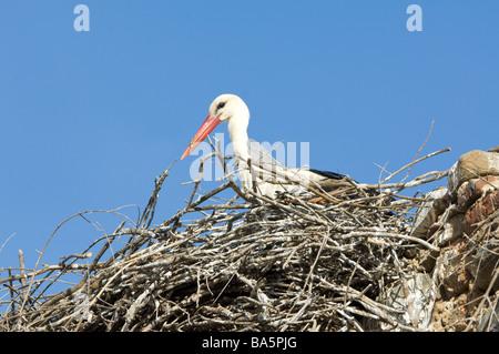 White Stork Ciconia ciconia Extremadura Spain - Stock Photo