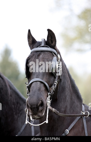 Portrait of a beautiful stallion at the London Harness Horse Parade - Stock Photo
