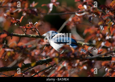 A Blue Jay sitting on a Red Tree, Point Reyes National Seashore, California, USA - Stock Photo
