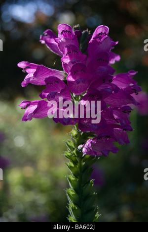 Physostegia virginiana 'Vivid', Obedient plant - Stock Photo