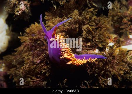 Spanish Shawl (Flabellina iodinea) nudibranch in the California Channel Islands National Park, USA. - Stock Photo