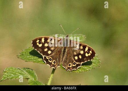 Butterfly Speckled Wood Pararge aegeria close up or macro shot showing upper wings in spring sunshine - Stock Photo