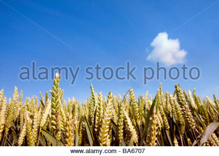 Close up of wheat under cloud in blue field - Stock Photo