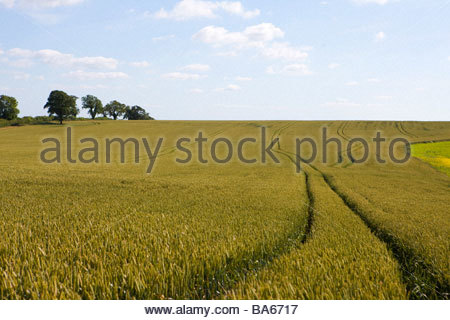 Tractor tracks in wheat field - Stock Photo