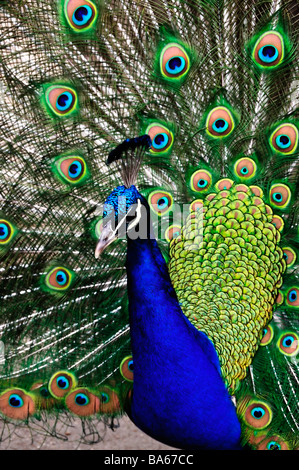 Close up, Portrait, Peacock, Bird Head and Spread out Feather Tail, 'Bag-atelle Garden' - Stock Photo