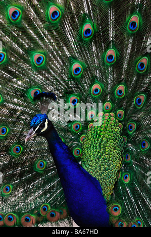 'Close up', Portrait, Peacock, Head and Spread out 'Feather Tail' - Stock Photo