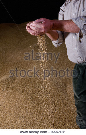 Wheat grains falling from farmerís hands - Stock Photo