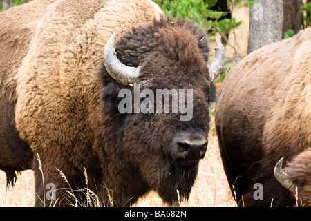 Bison in the field grazing - Stock Photo