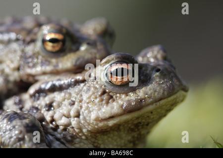 European Common Toad Bufo Bufo Mating United Kingdom - Stock Photo