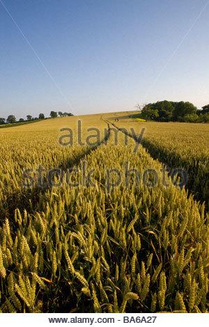 Tracks in wheat field - Stock Photo