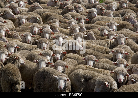 Merino Flock of ewes rounded up for shearing of fleeces - Stock Photo