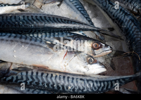 Mackerel fish for sale on a market stall in a town in England - Stock Photo