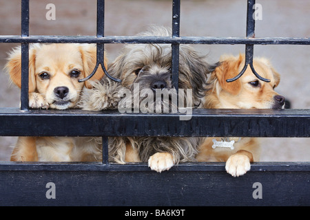 three half breed dog puppies behind fence - Stock Photo
