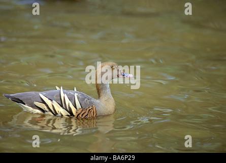 plumed whistling duck - swimming / Dendrocygna eytoni - Stock Photo