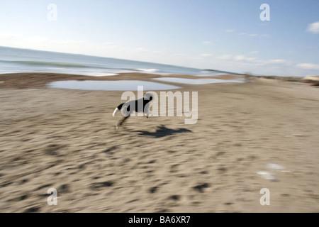 one fast dog running on empty beach in sun - Stock Photo