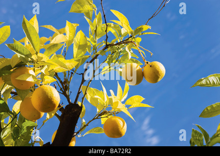 Unusual Orange Oranges Orange Leaf Tree Trees Garden Leaves Stock  With Remarkable Oranges Growing On Tree Bunches Of Oranges On Orange Tree  Stock Photo With Cool Physic Garden Chelsea Also Garden Supplies Liverpool In Addition Shalimar Garden Kashmir And Guerilla Gardener As Well As Garden In Desert Additionally Wood And Metal Garden Bench From Alamycom With   Remarkable Orange Oranges Orange Leaf Tree Trees Garden Leaves Stock  With Cool Oranges Growing On Tree Bunches Of Oranges On Orange Tree  Stock Photo And Unusual Physic Garden Chelsea Also Garden Supplies Liverpool In Addition Shalimar Garden Kashmir From Alamycom