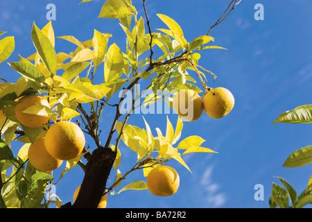 Bunches of oranges on orange tree - Stock Photo
