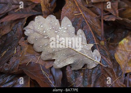 Forest-ground foliage oak-leaf wet close-up nature forest ground leaves fall leaves fall foliage autumn seasons - Stock Photo