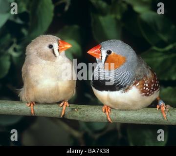 two zebra finches (left: female , right: male) - Stock Photo