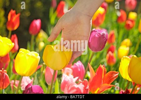 Touching tulips - Stock Photo
