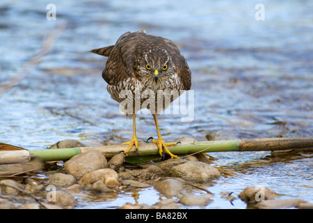Eurasian sparrowhawk Accipiter nisus juvenile female at river Valencia province Spain - Stock Photo