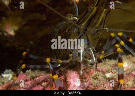 Prawn Palaemon serratus Pembrokeshire, Wales, UK, Europe - Stock Photo