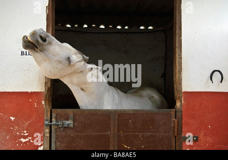 Grey horse in a stable - Stock Photo