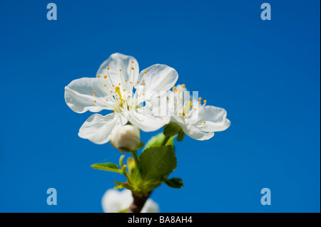 Blooming sour morello cherry Prunus cerasus with white blossoms on a branch against blue sky | Blühende Sauerkirsche - Stock Photo