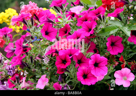 Display of brightly coloured Petunias at Butchart Gardens - Stock Photo